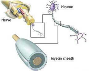 Myelin and nerve structure.